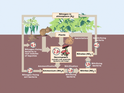 What Are the 4 Steps of Nitrogen Cycle?
