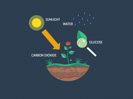 Photosynthesis Process: Carbon Dioxide to Glucose